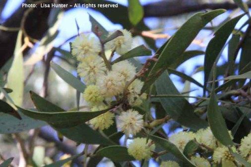 blackwood-wattle-flowers