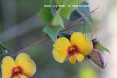 common-flat-pea-flowers-and-leaves