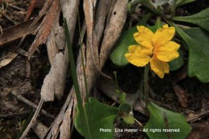 Trailing-goodenia-yellow-flower