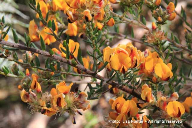 Grey-parrot-pea-flowers
