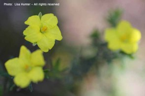 erect-guinea-flowers