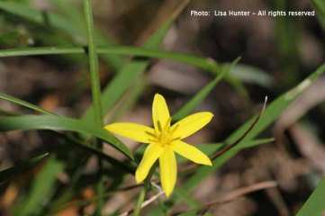 A close-up of a Yellow Star flower.