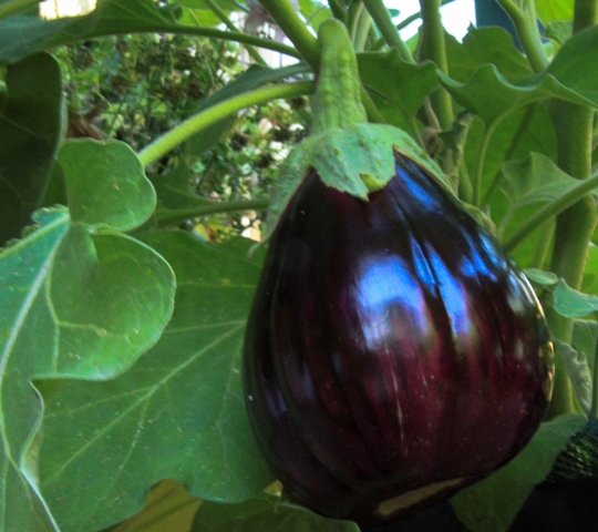 aubergine-growing-in-wicking-bed