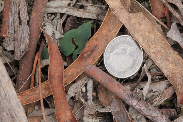 If you look closely at the floor of the bushland, you may find some Small Mosquito Orchids emerging now. The 5 cent coin shows how small they are.