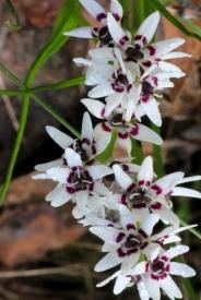 Female-Early-Nancy-Flowers