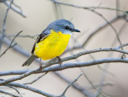 Yellow-Robin-sitting-on-bare-branches