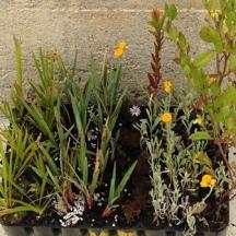 Native-plant-seedlings