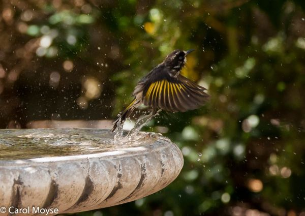 New-Holland-Honeyeater-flying-out-of-bird-bath