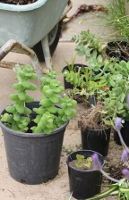 Taking-Cuttings-herbs-flowers