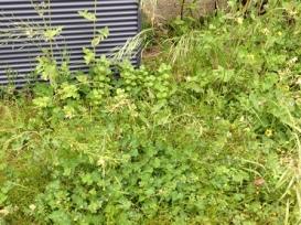 Weeds-growing-in -mass-of-green