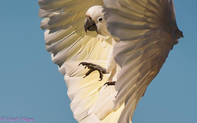 sulphur-crested-cockatoo-photographed-about-to-land